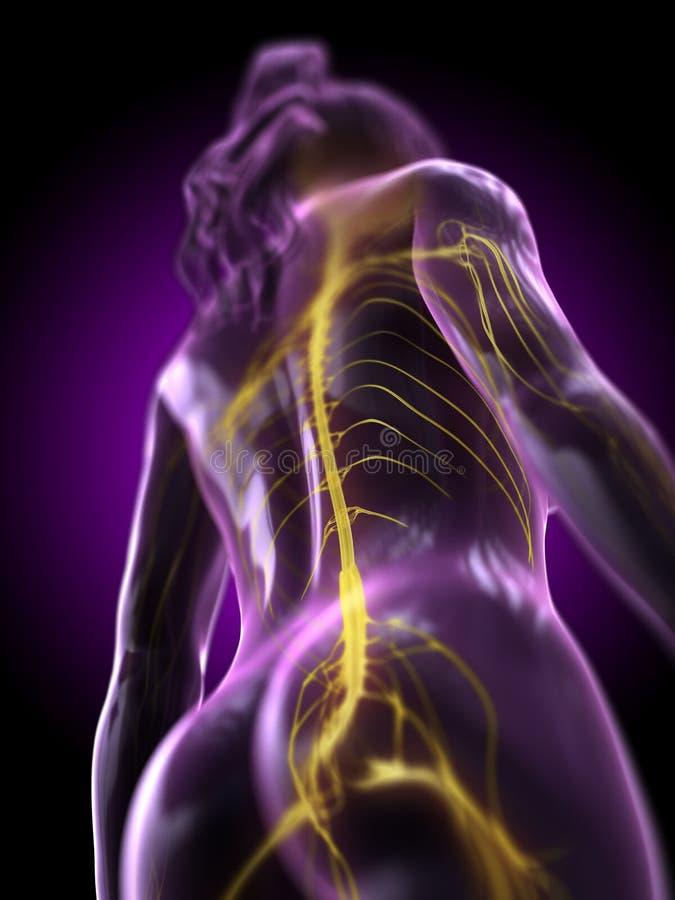 das Rückenmark einer Frau stock abbildung