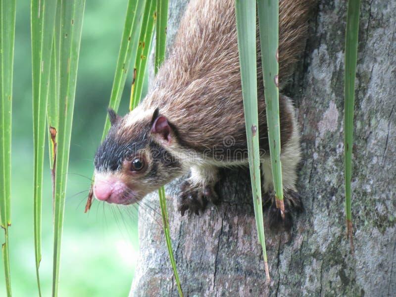 Das riesige Eichhörnchen lizenzfreie stockfotos