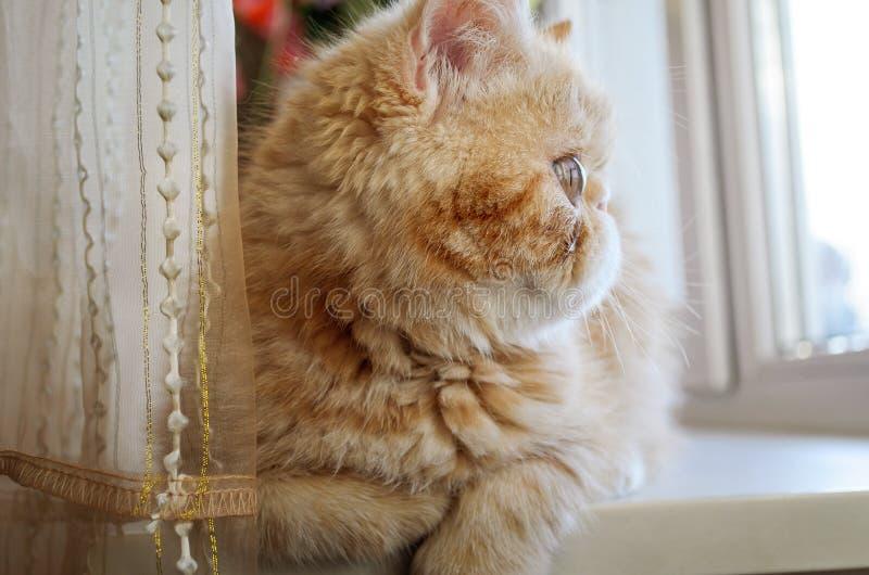 Das rote Kätzchen von Zucht der Erregung-Sucher liegt an einem Fenster und an einem h lizenzfreies stockfoto