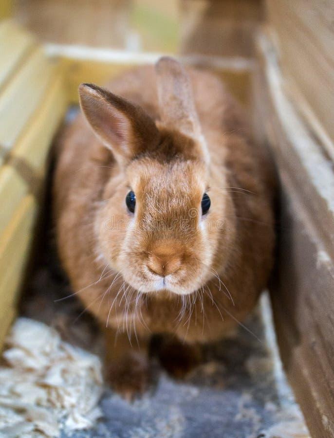 Das rote Kaninchen sitzt in einer Holzkiste in einem Zoo stockbilder