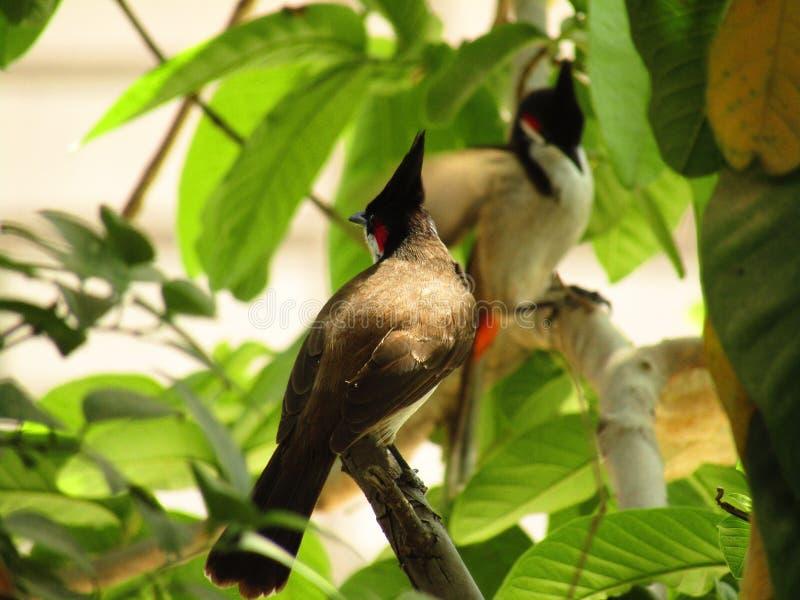 Das Rotohrbülbül oder das Pycnonotus-jocosus oder Bulbul der mit Haube stockfotografie