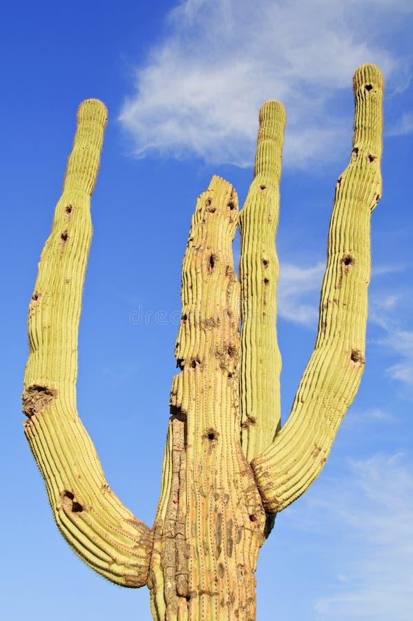 Das saguaro-Kaktus-nationale Denkmal, lizenzfreies stockbild
