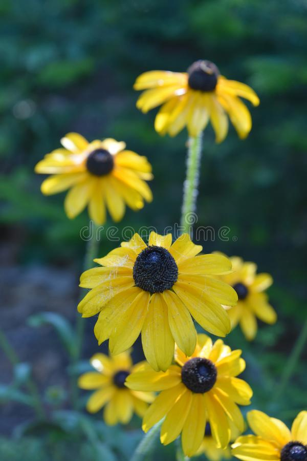 Das schöne Blühen Schwarzes musterte Susan Flowers in einem Garten stockfoto