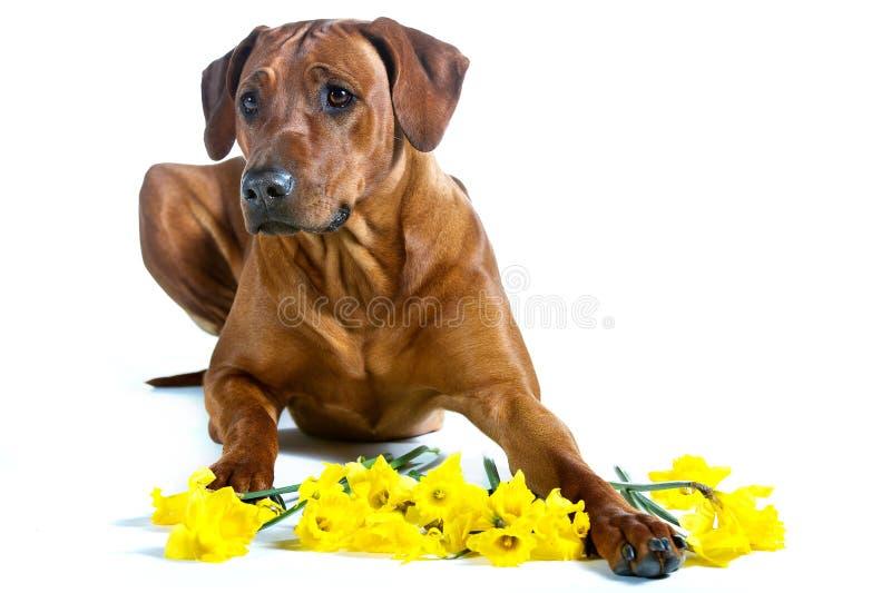 Das schöner Hund-rhodesian ridgeback, das in Gelb legt, blüht isola lizenzfreies stockbild