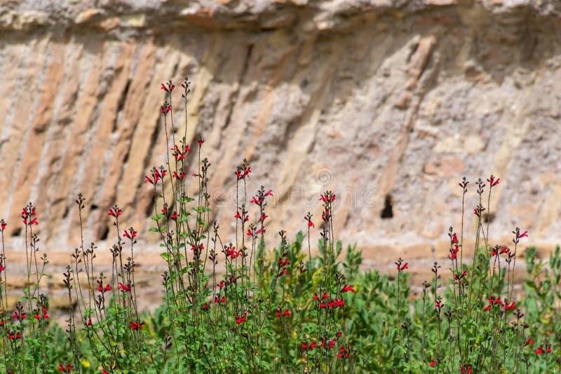 Das Scharlachrot, das weises königliches blühen, mogeln sich oder salvia x jamensis Reve Rouge durch, der in Italien in der Somme lizenzfreie stockbilder