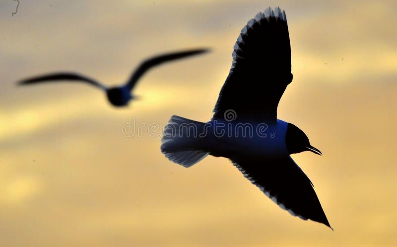 Das Schattenbild der Fliegenseemöwe stockbilder