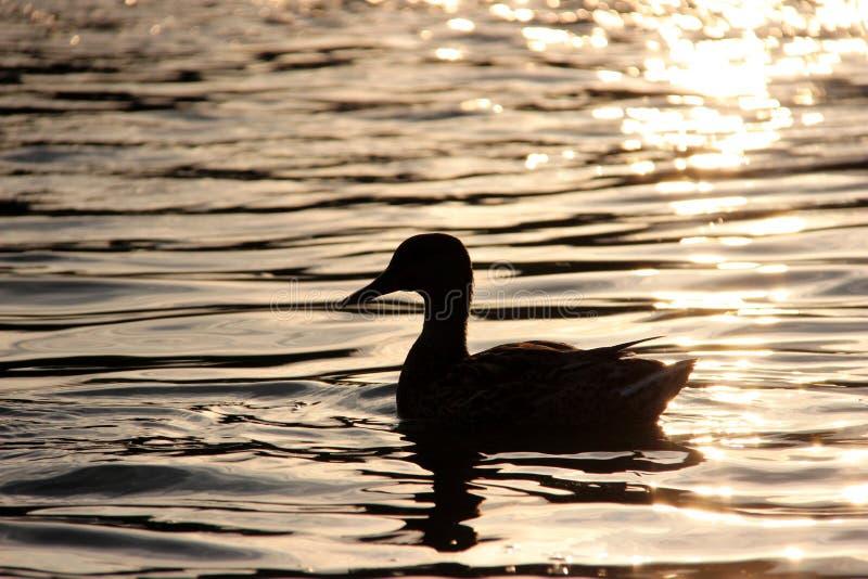 Das Schattenbild einer Ente in einem See lizenzfreies stockbild