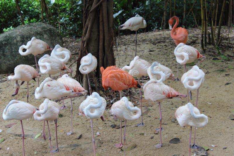 Das Schlafen geht Flamingos stockbild