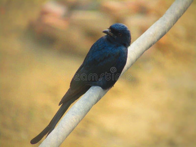 Das schwarze Drongo Dicrurus-macrocercus ist ein kleiner asiatischer Passerinevogel der Drongofamilie Dicruridae lizenzfreie stockfotografie