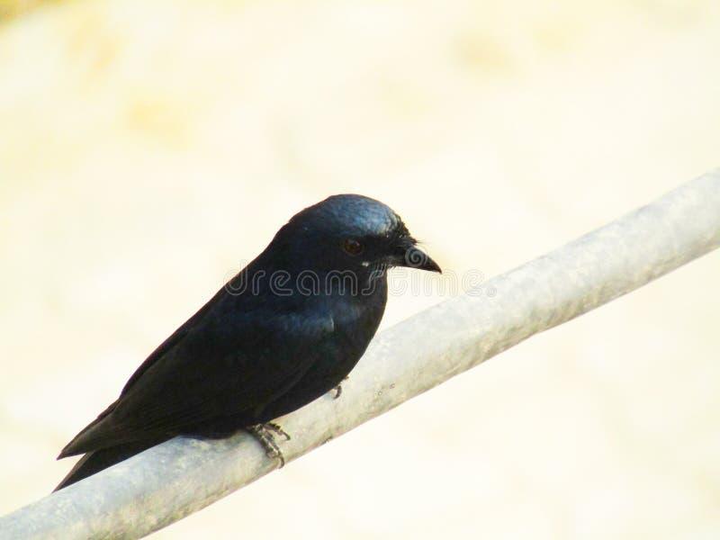 Das schwarze Drongo Dicrurus-macrocercus ist ein kleiner asiatischer Passerinevogel der Drongofamilie Dicruridae lizenzfreie stockbilder