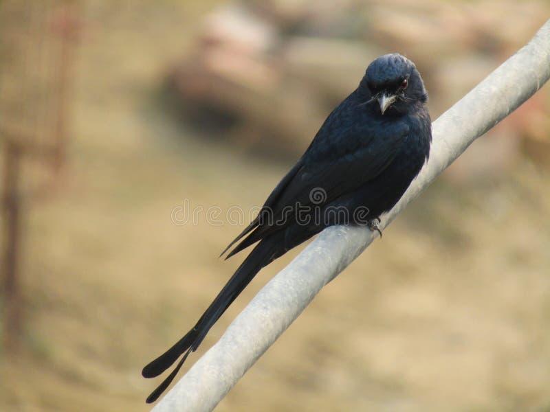 Das schwarze Drongo Dicrurus-macrocercus ist ein kleiner asiatischer Passerinevogel der Drongofamilie Dicruridae stockfotos