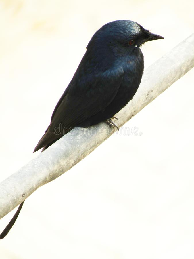 Das schwarze Drongo Dicrurus-macrocercus ist ein kleiner asiatischer Passerinevogel der Drongofamilie Dicruridae stockfoto