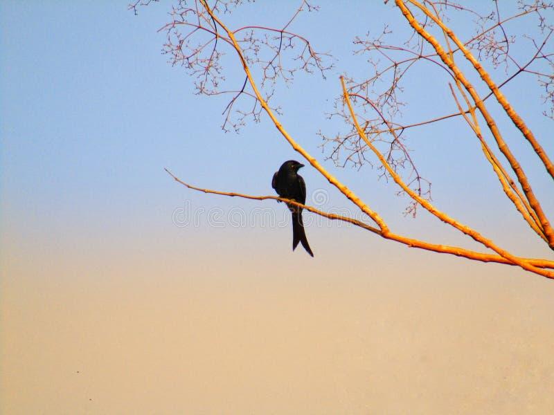 Das schwarze Drongo Dicrurus-macrocercus ist ein kleiner asiatischer Passerinevogel der Drongofamilie Dicruridae stockbild