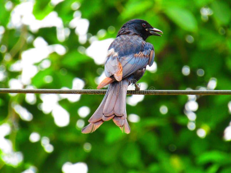 Das schwarze Drongo Dicrurus-macrocercus ist ein kleiner asiatischer Passerinevogel der Drongofamilie Dicruridae stockfotografie