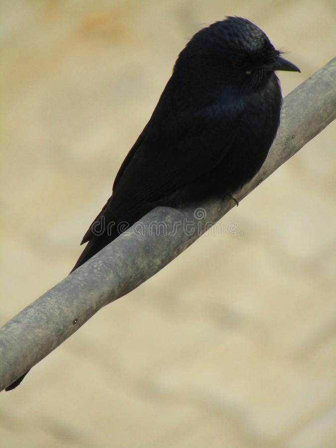 Das schwarze Drongo Dicrurus-macrocercus ist ein kleiner asiatischer Passerinevogel der Drongofamilie Dicruridae stockbilder