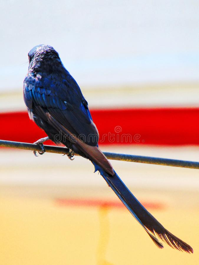 Das schwarze Drongo Dicrurus-macrocercus ist ein kleiner asiatischer Passerinevogel der Drongofamilie Dicruridae lizenzfreies stockfoto