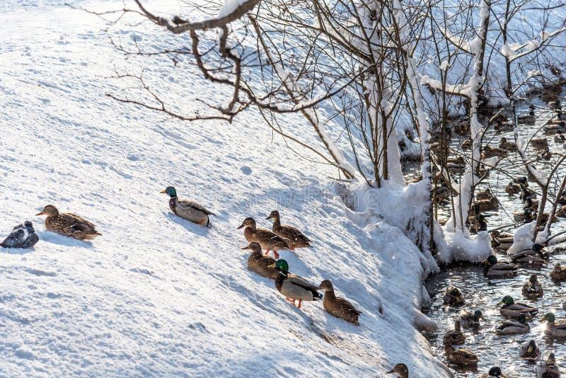 Das Schwimmen duckt sich in einen gefrorenen Teich im Winter lizenzfreies stockfoto