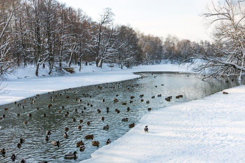 Das Schwimmen duckt sich in einen gefrorenen Teich im Winter stockfotos