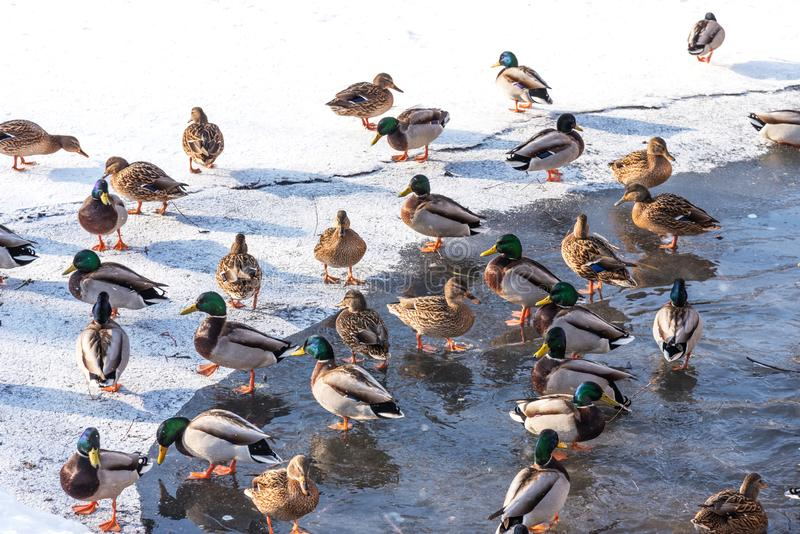 Das Schwimmen duckt sich in einen gefrorenen Teich im Winter stockfotografie