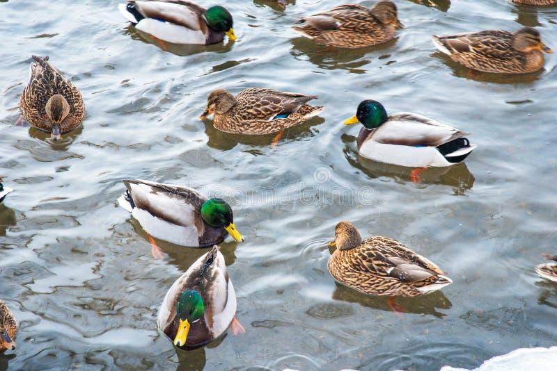 Das Schwimmen duckt sich während herein eines gefrorenen Teichs im Winter lizenzfreies stockbild