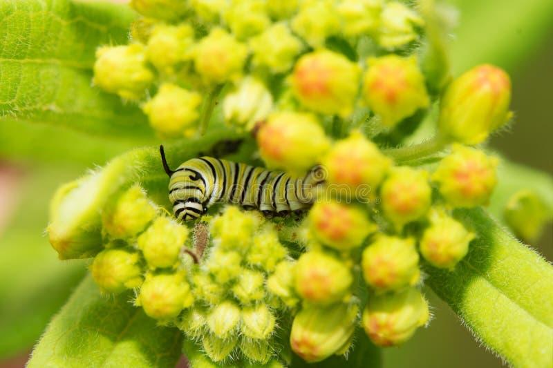 Das sehr junge Monarchgleiskettenfahrzeug, das auf Milkweed isst, knospt lizenzfreie stockfotografie