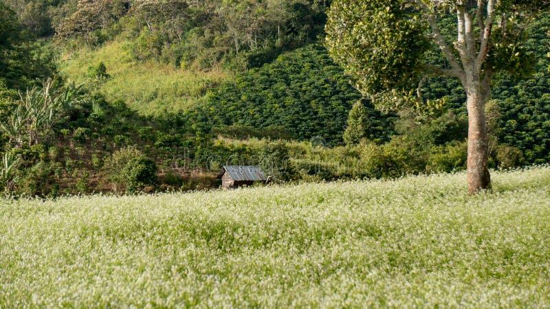 Das Senffeld mit weißer Blume in DonDuong - Dalat- Vietnam stockbild