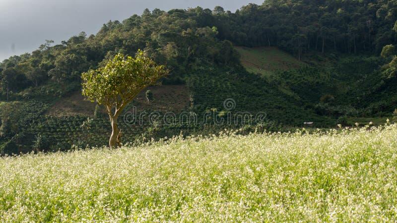 Das Senffeld mit weißer Blume in DonDuong - Dalat- Vietnam stockfotografie