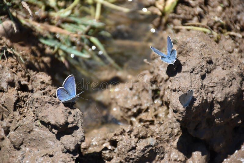 Das Silber-verzierte Blau u. das x28; Plebejus-argus& x29; Schmetterling lizenzfreies stockbild