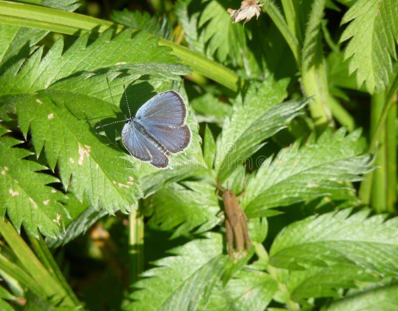 Das Silber-verzierte blaue Plebejus Argus stockfotografie