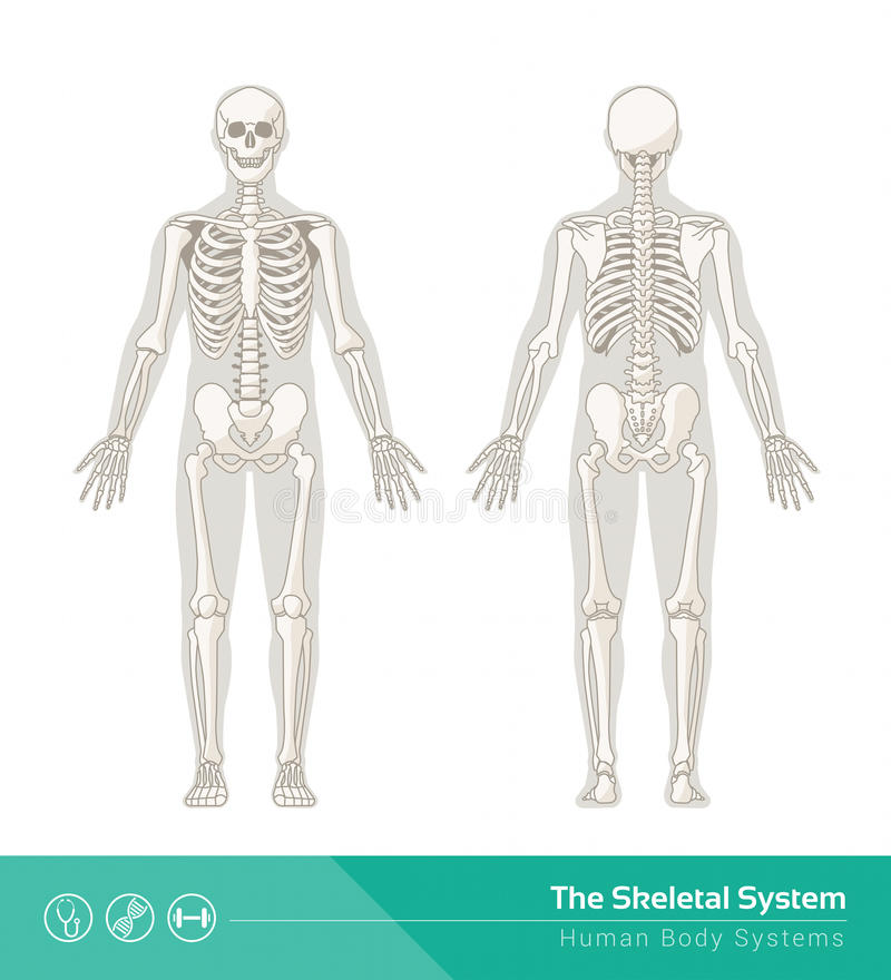 Das skelettartige System stock abbildung