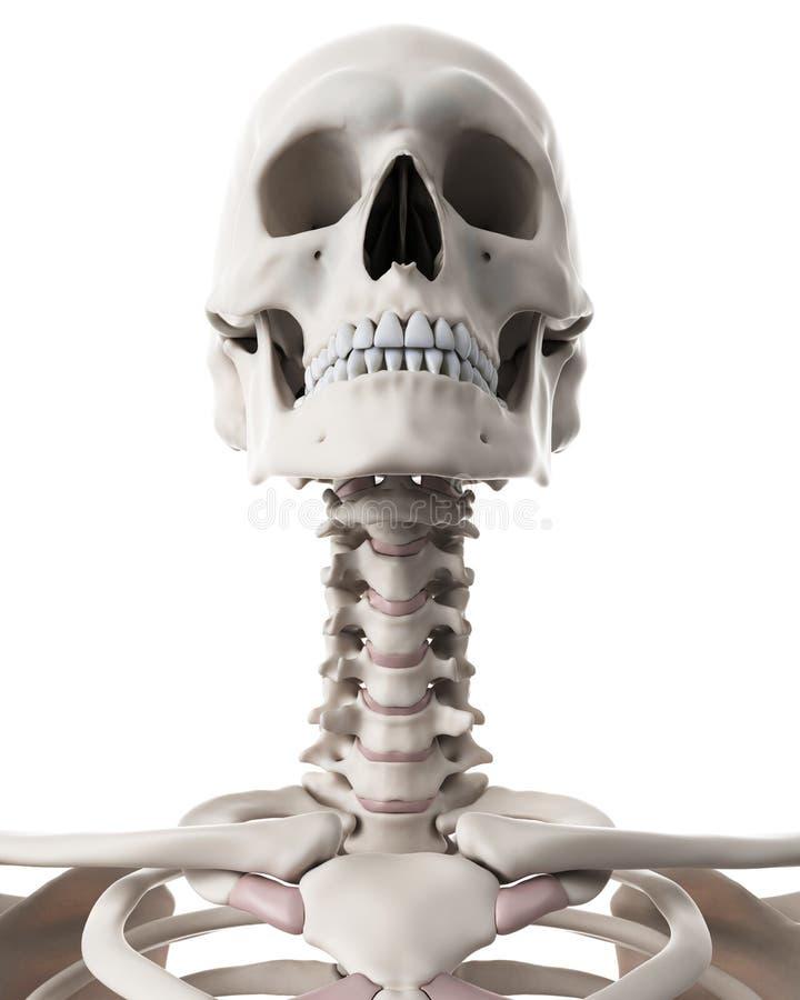 Berühmt Hals Skelett System Ideen - Menschliche Anatomie Bilder ...