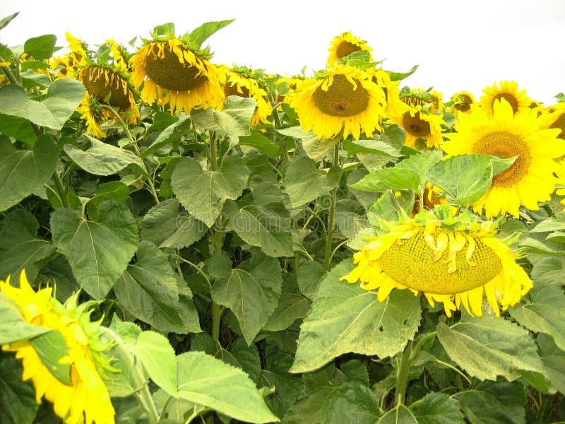 Das Sonnenblumefeld E stockbilder