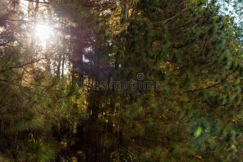 Das Sonnenlicht, das den Kiefernwald 01 durchbohrt lizenzfreie stockfotos