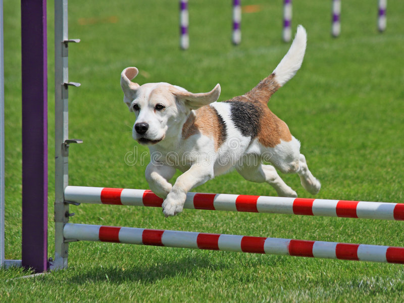 Das Spürhundspringen lizenzfreie stockfotos