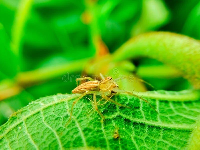 Das Spinnenopfer stockbilder