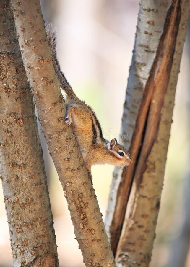 Das Streifenhörnchen stockfotografie