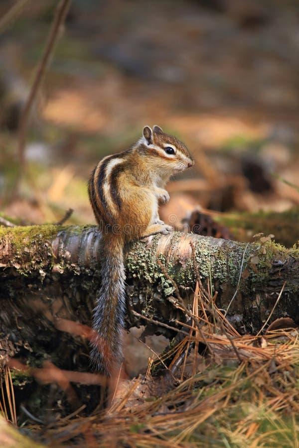 Das Streifenhörnchen lizenzfreies stockfoto