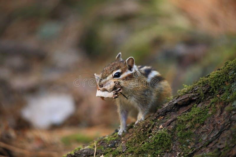 Das Streifenhörnchen lizenzfreie stockfotografie