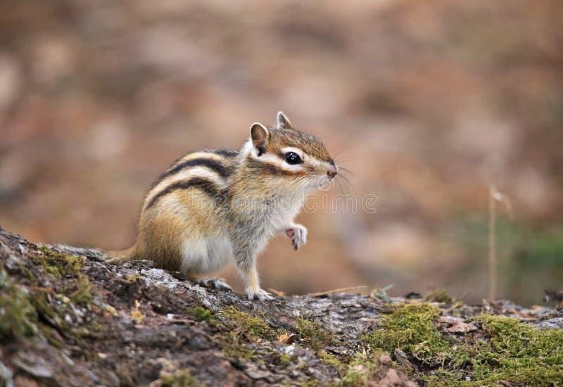 Das Streifenhörnchen sitzt auf dem Stumpf stockfotos