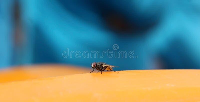 Das Stubenfliegeninsekt, das auf der gelben Oberfläche stillsteht lizenzfreie stockfotografie