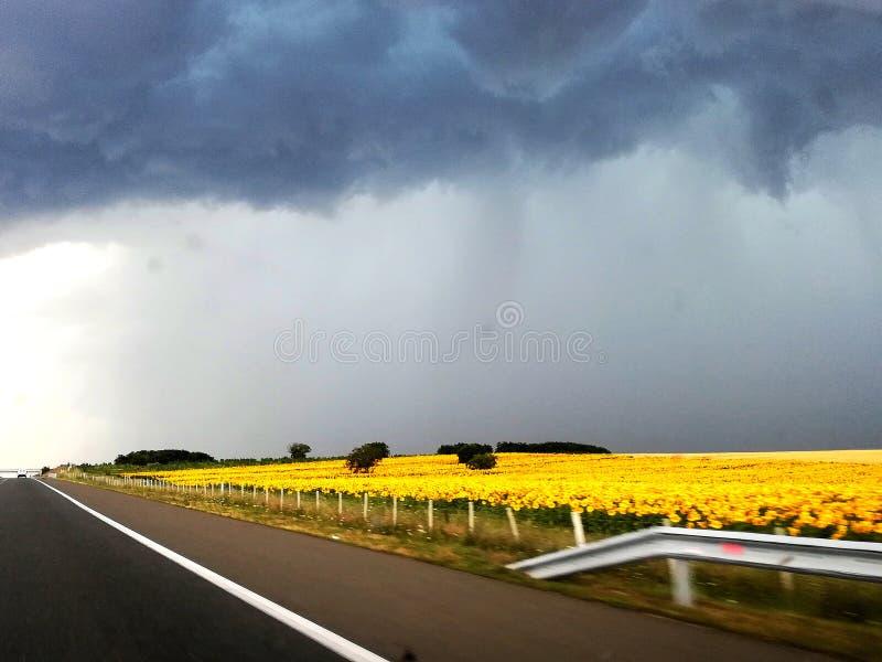 Das Sturm-Tal von Sonnenblumen stockbild