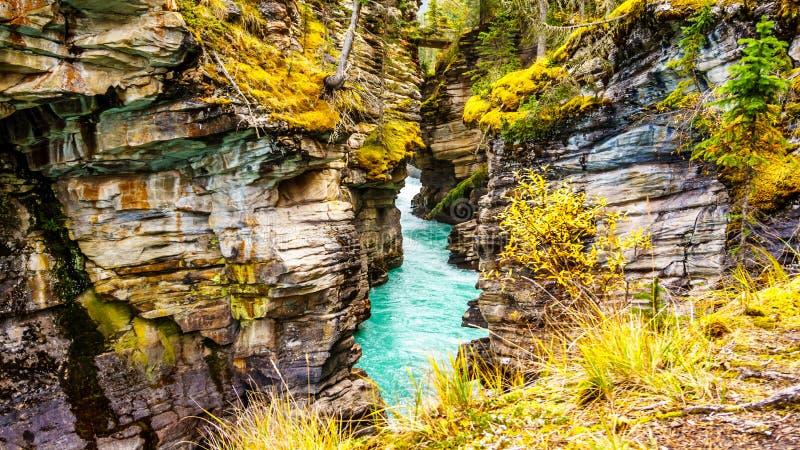 Das Türkiswasser des Athabasca-Flusses fließt ein Schluchtrecht nach den Athabasca-Fällen in Jasper National Park durch lizenzfreies stockbild