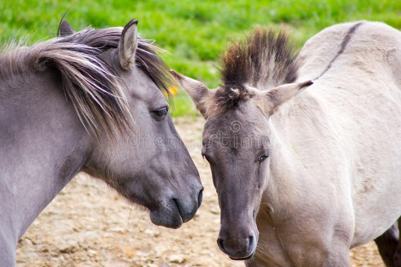 Das Tarpan-Pferd lizenzfreie stockfotos