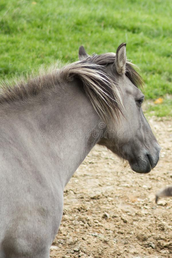 Das Tarpan-Pferd stockfotos