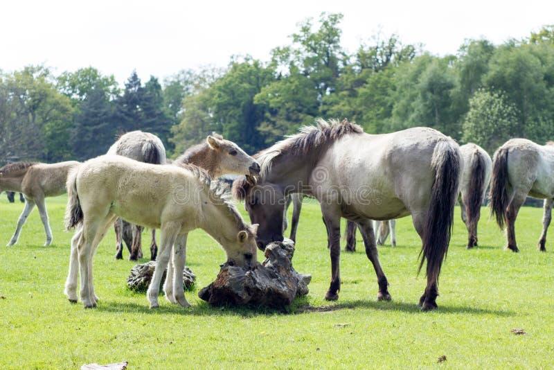 Das Tarpan-Pferd stockfoto