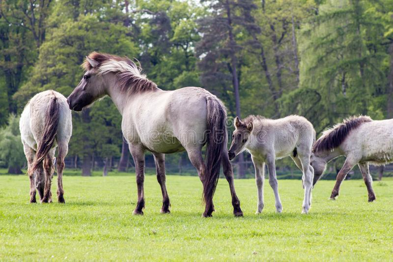 Das Tarpan-Pferd stockbild