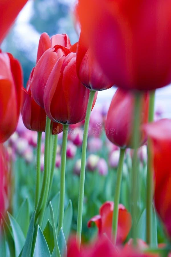 Das Tulpeblumenbett lizenzfreie stockbilder