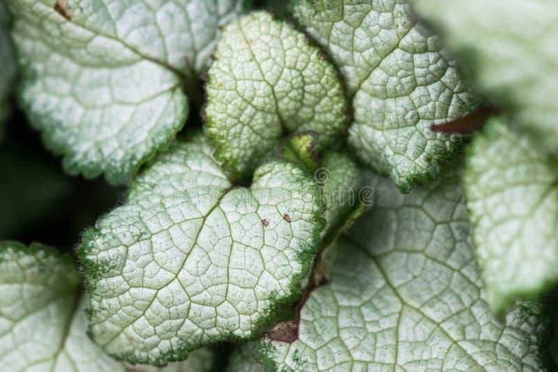 Das unterscheidende Silber und die grünen Blätter von Brunnera Macrophylla lizenzfreie stockfotos