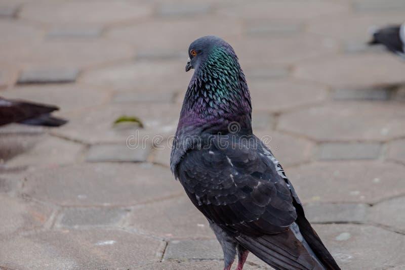 Das Verhalten und der Ursprung der Borste, zum einer Taube aufzulösen, um Aufmerksamkeit von den Frauen darzustellen stockfotografie