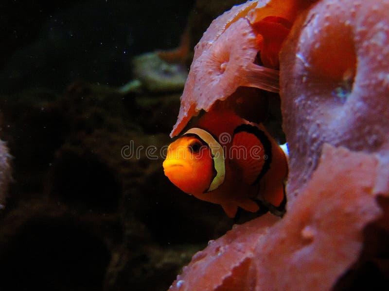 Das versteckende Clownfish stockbilder